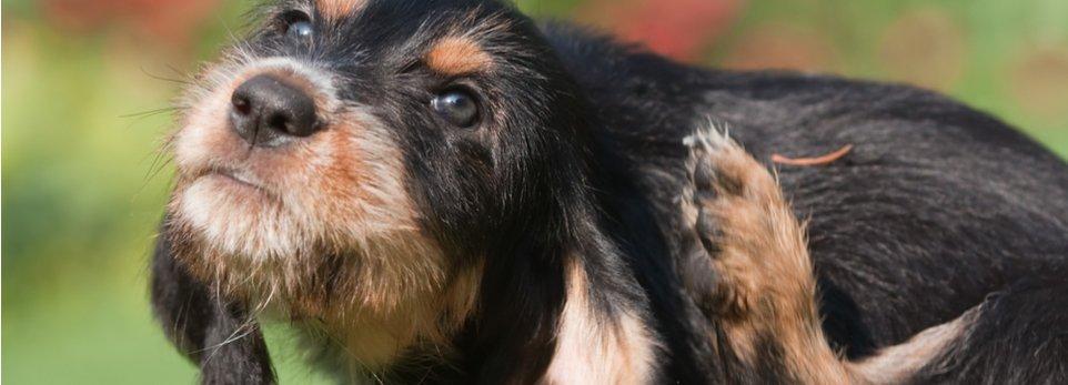 un cane si gratta l'orecchio