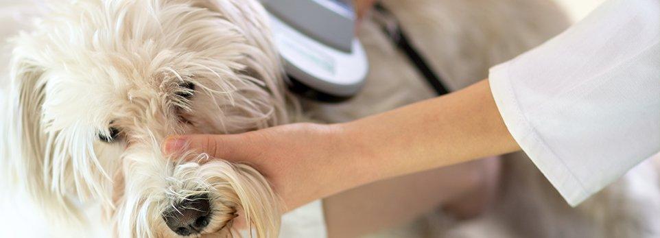 Controllo del microchip in un cane