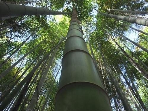 MOSO pianta bamboo