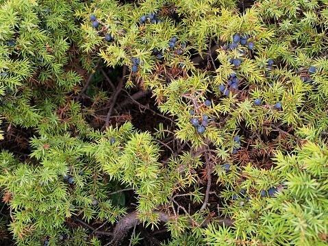 Ginepro - Juniperus