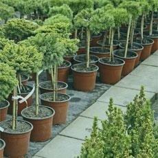 vendita ulivi e bonsai mo