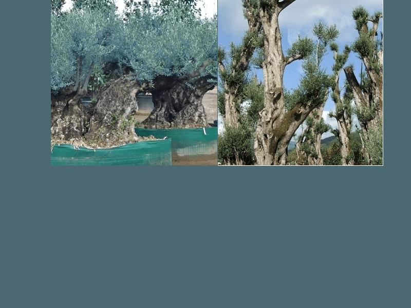 vendita bonsai e ulivi mo