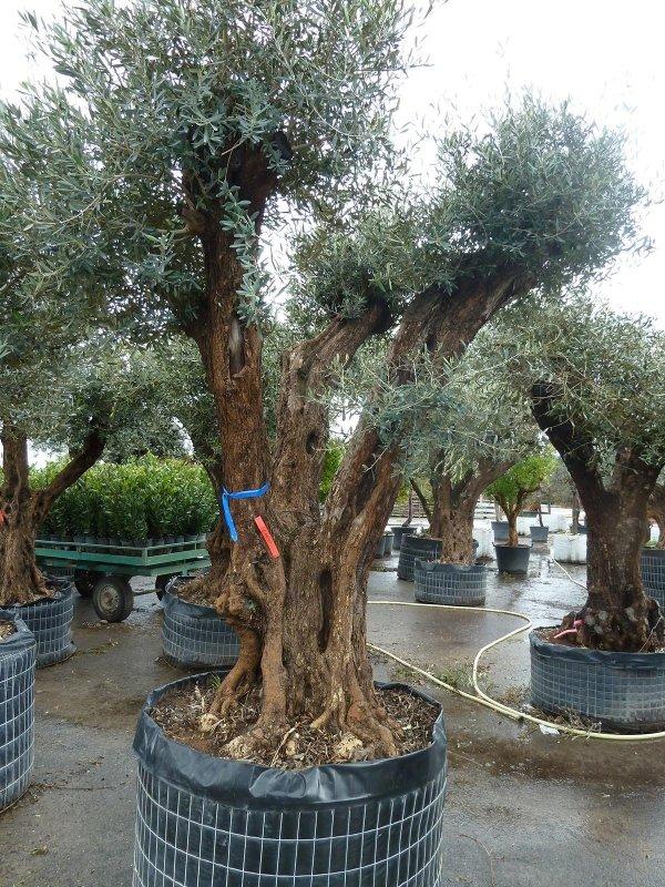 Piante Di Ulivo In Vendita : Fontane da giardino ponte caffaro bs flor market
