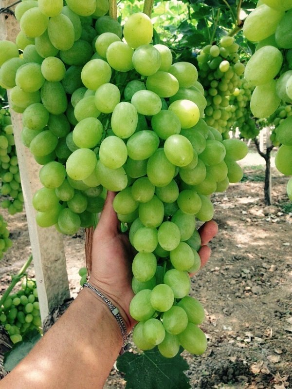 grappolo d'uva in mostra