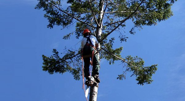nuleaf tree services climbing tree