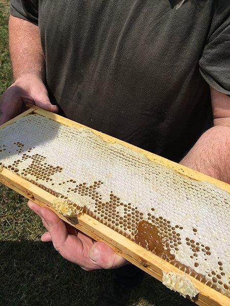 due mani di un apicoltore con in mano un asse di legno a nido d'ape
