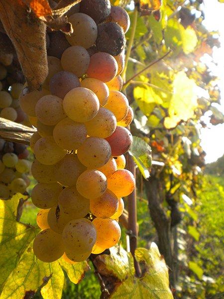vista di un grappolo di uva in un vigneto visto da vicino