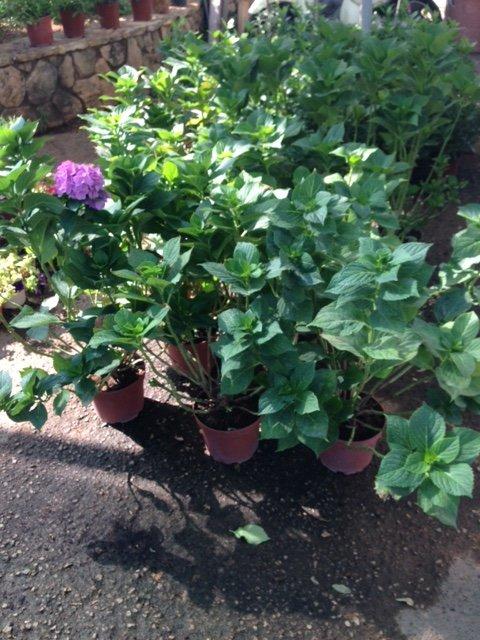 pianta con fiori lilla