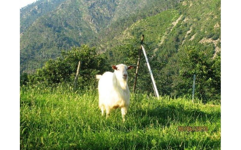 La capra Alain