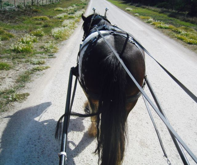 Richard training a horse in harness