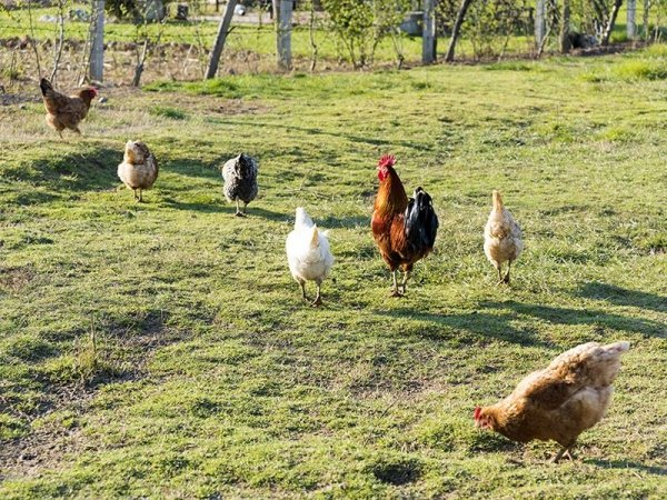 Avicoltura free range