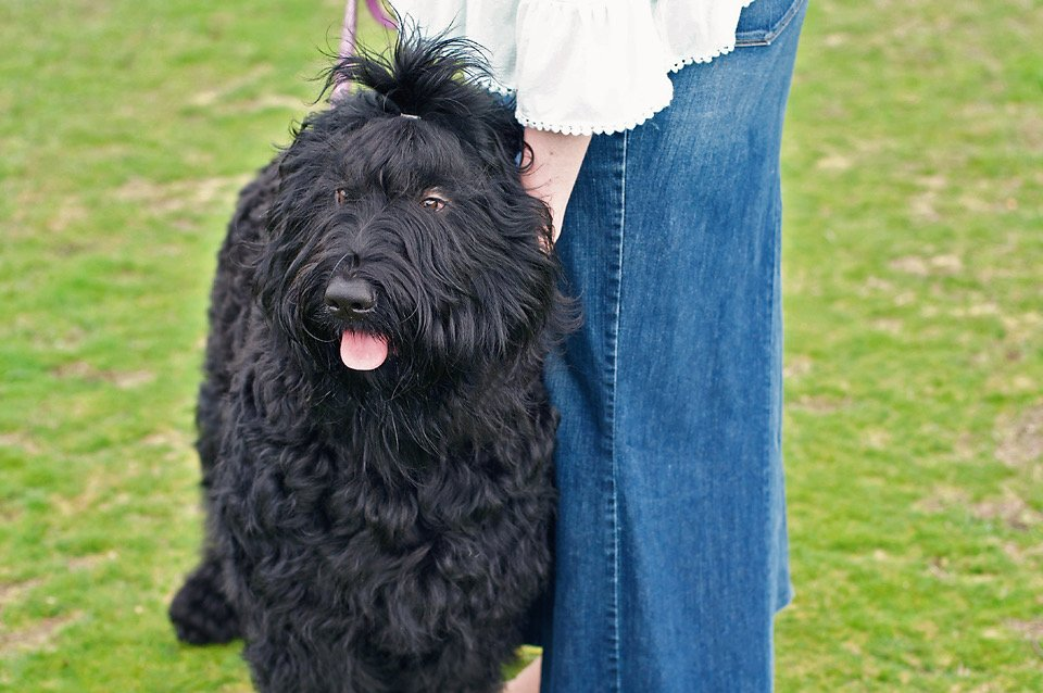 Black Russian Terrier Bitch