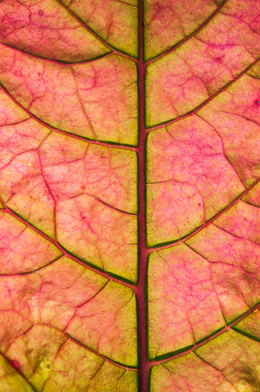 ironweed leaf