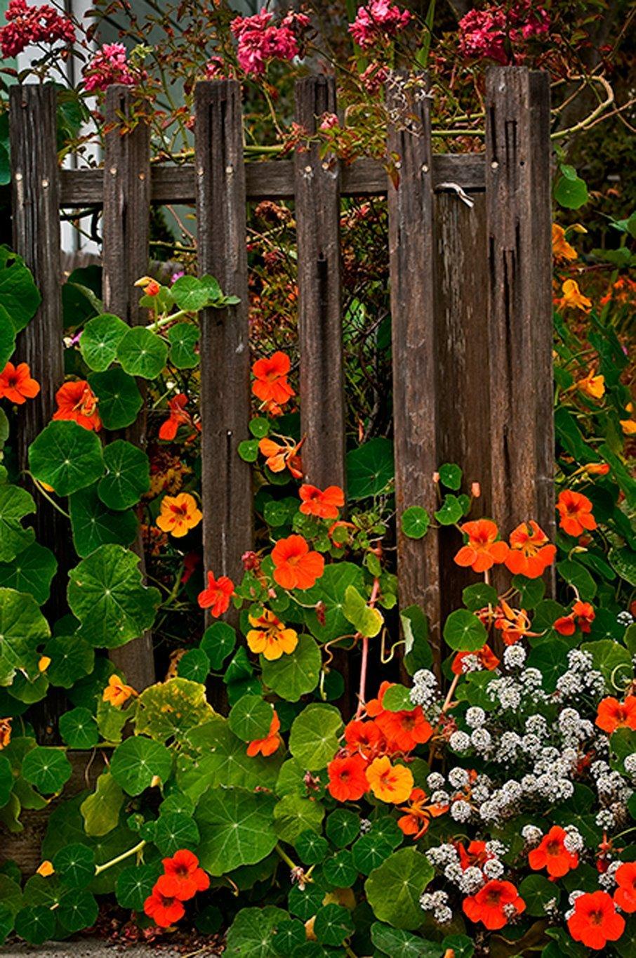 Nasturtiums fence