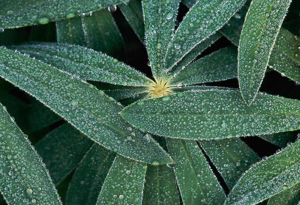 Dew layers Lupine leaves