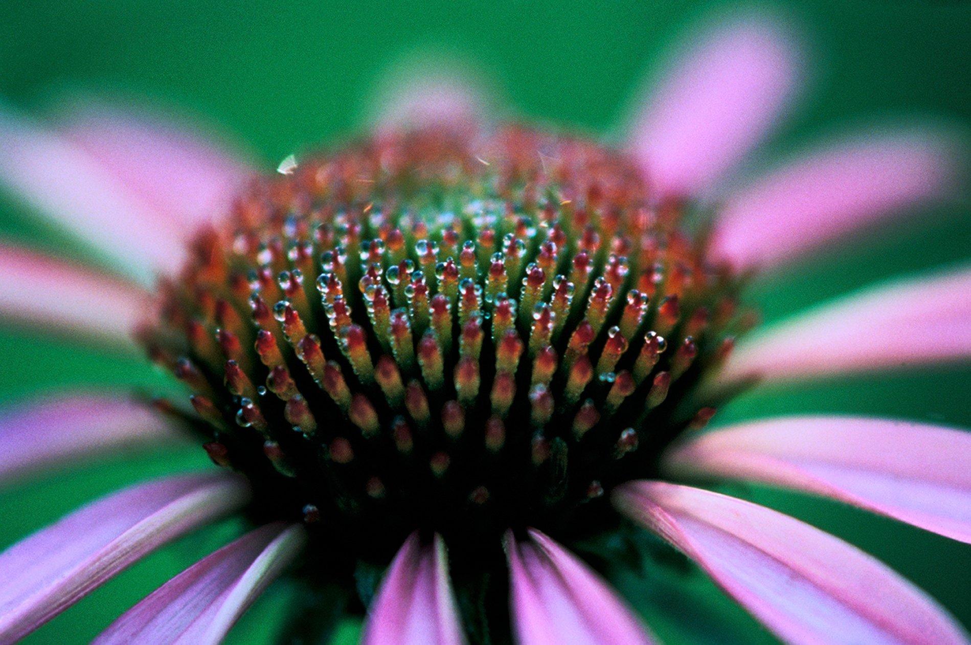 Coneflower head dew