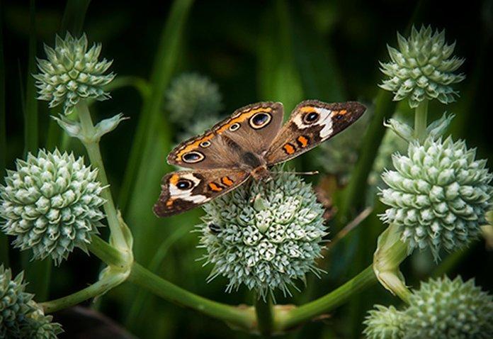 Moth Rattlesnkae Master