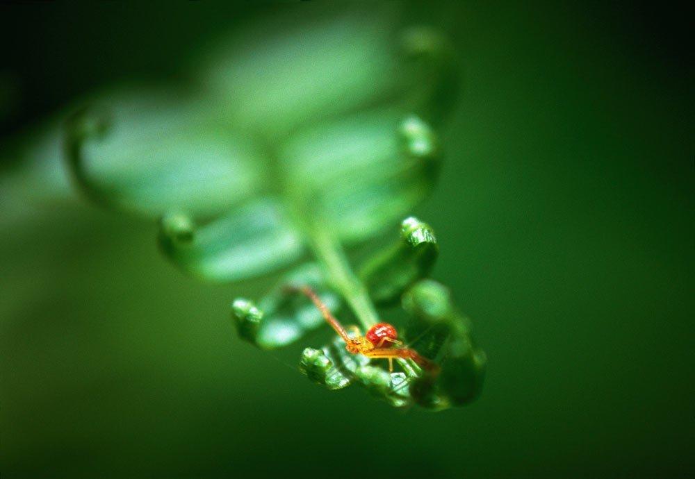 Spider fern