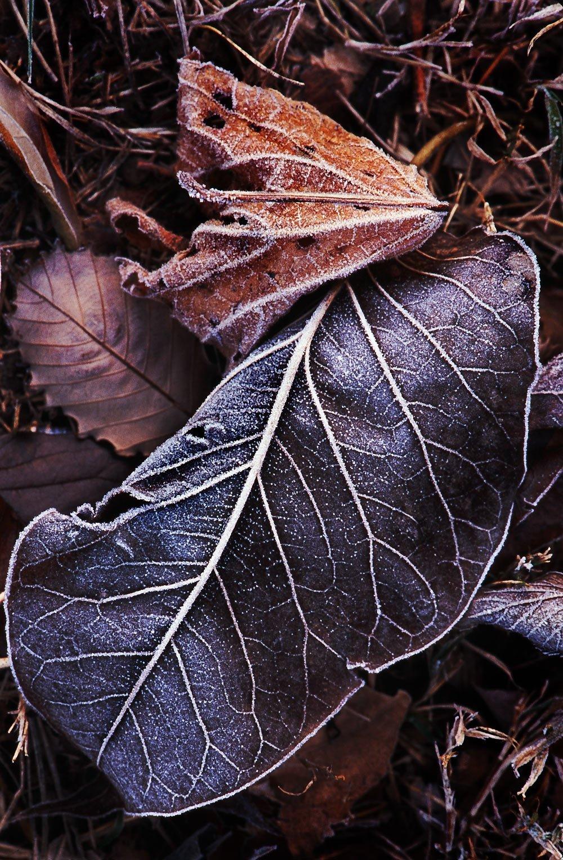 Frosted leaf veins