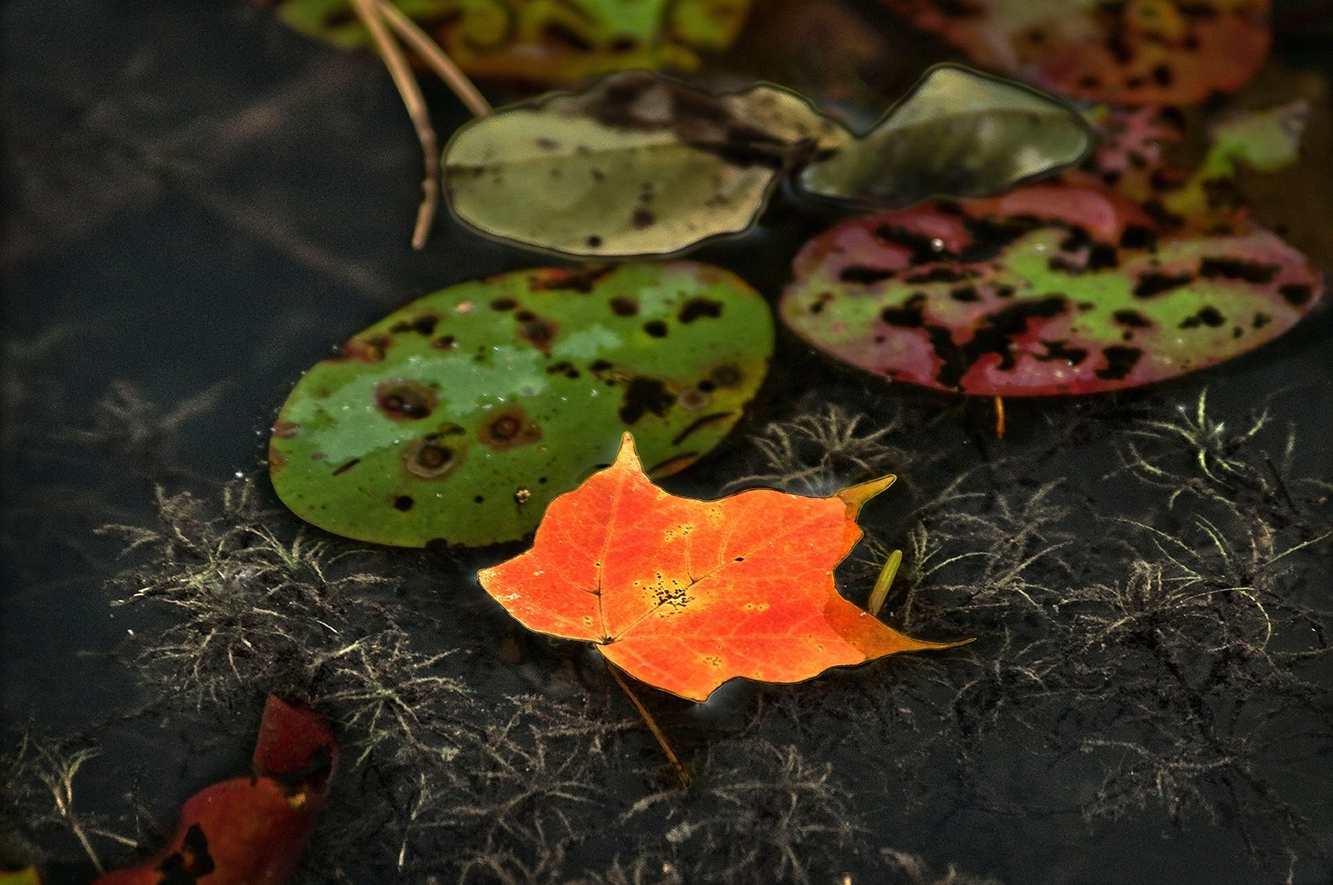 Lilly pad and Maple