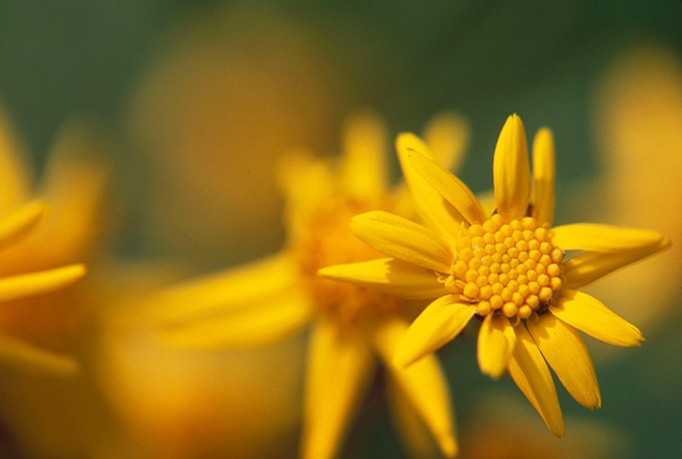 little yellow cluster