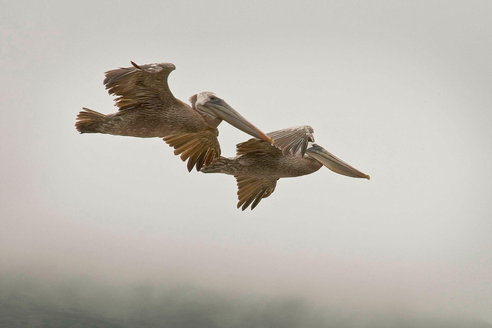 Big Sur Pelicans