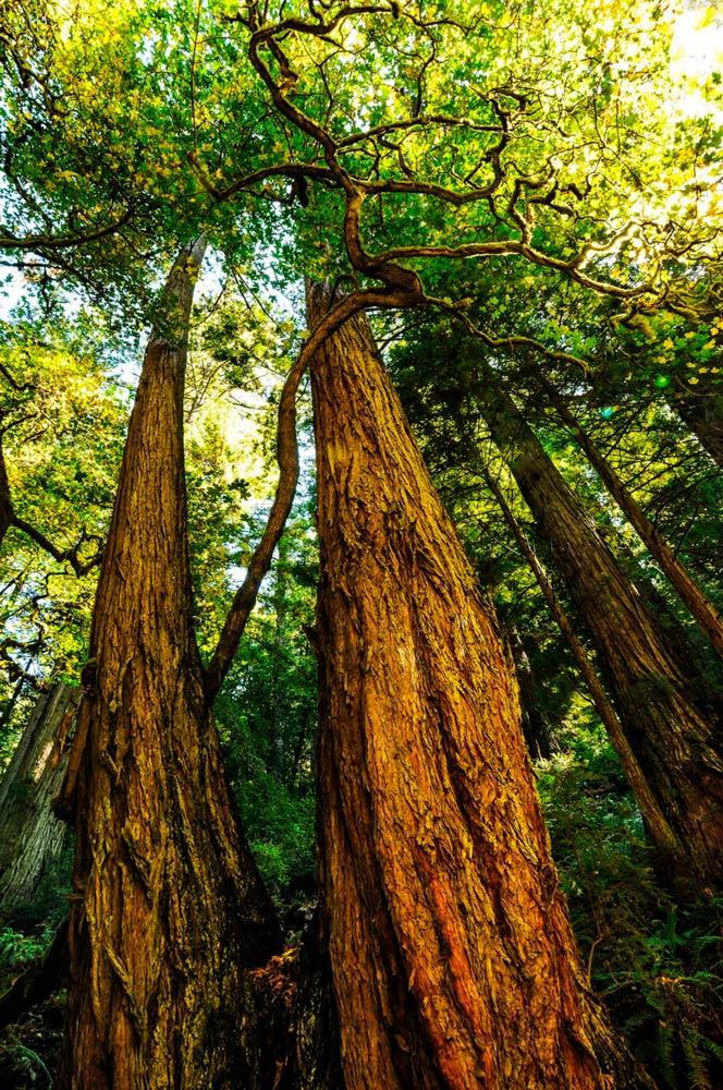 Lost Coast Redwoods
