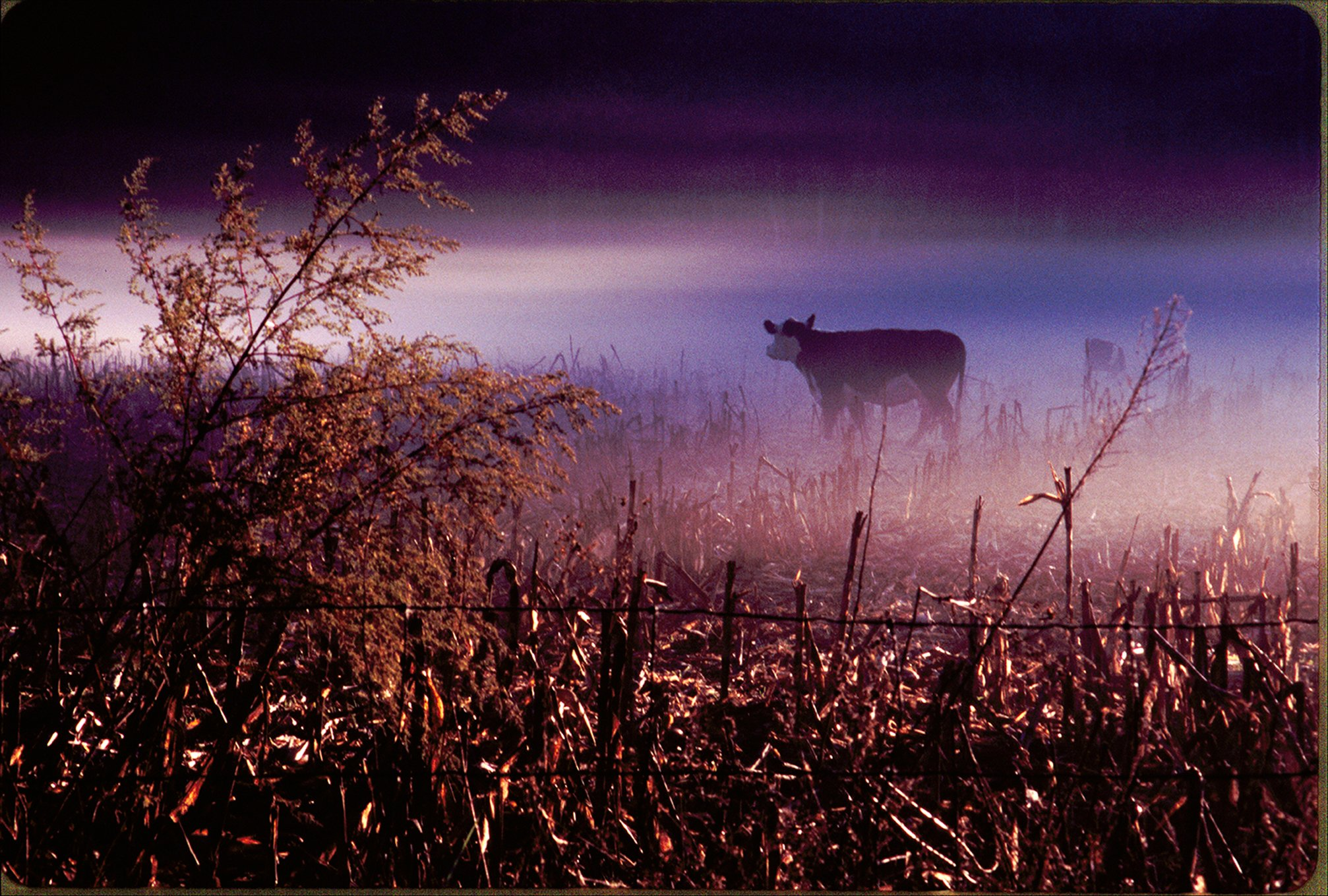 Cow in morning cornfield