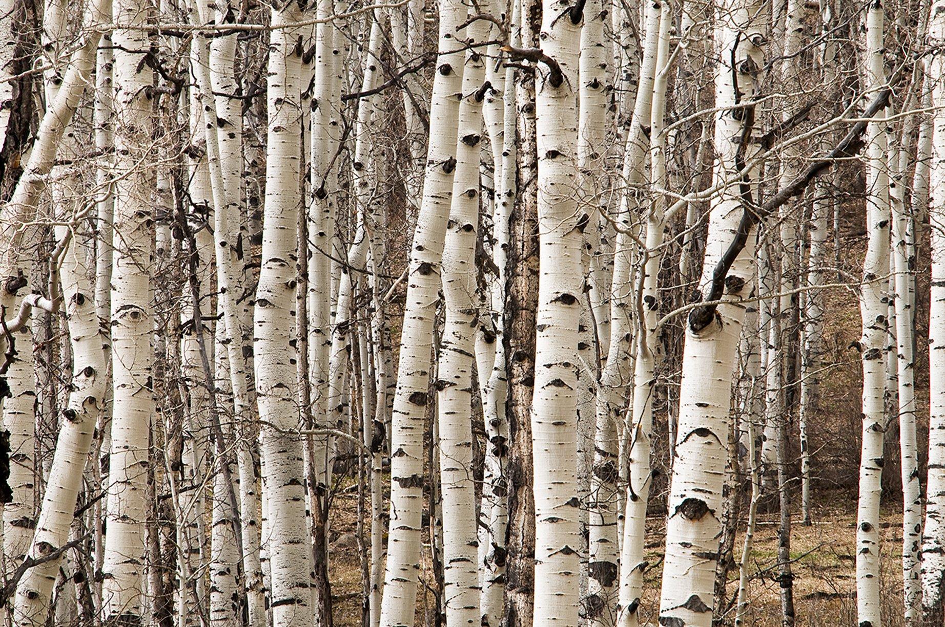 Birch Colorado - Utah
