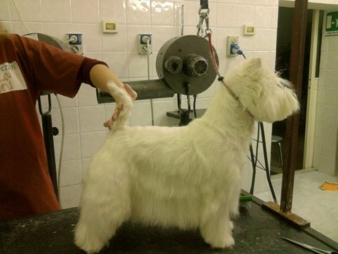 west highland white terrier taglio pelo