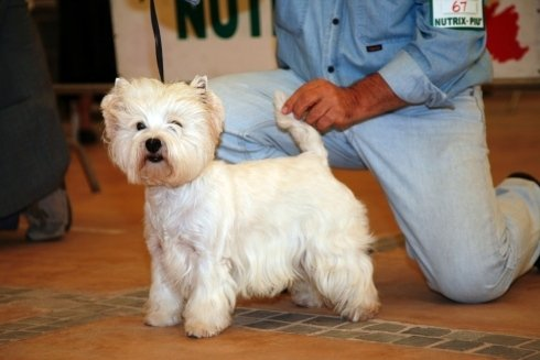 west highland white terrier lato