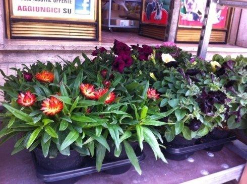 fiori, giardino, terrazzo, rieti