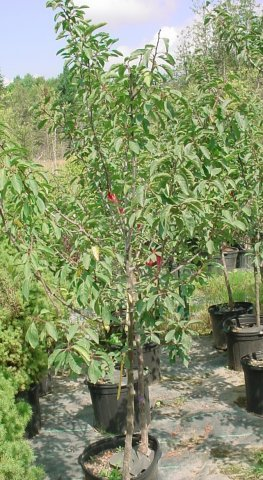 Mount Royal Plum - Tender and juicy, great for eating fresh as well as deserts and jams. Grows to be 8-12' tall, blooms early May, ripens late August. Zone 4-8