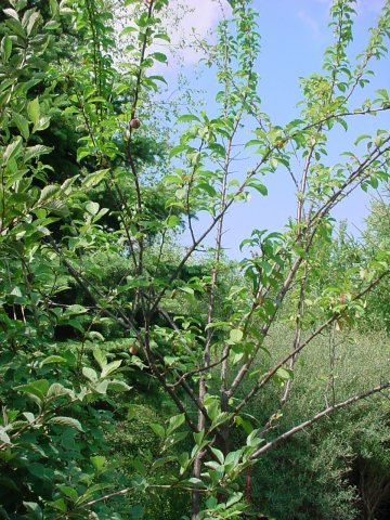 Piperstone Plum - A sweet, juicy plum great for eating fresh, jam and jelly. Grows to be 10-15' tall, blooms late April, ripens late August, requires pollinator. Zone 3-8