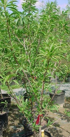 Superior Plum - This plum is very sweet and great for eating fresh, jams, and jelly. It produces a large plum. Its height is 15-20', blooms late April, ripens late August, requires pollinator. Zone 4-8