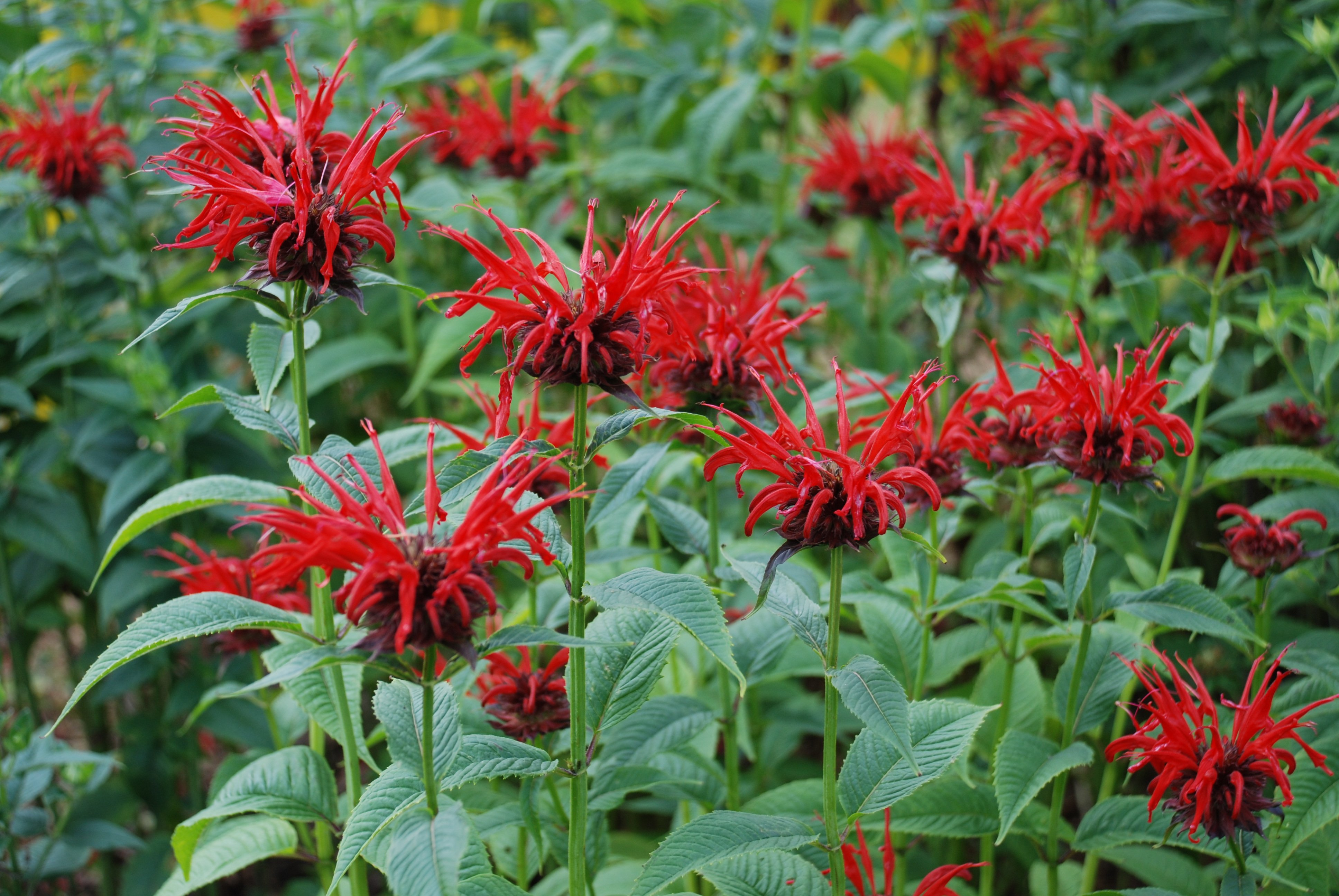 Bee Balm Care in Vermont