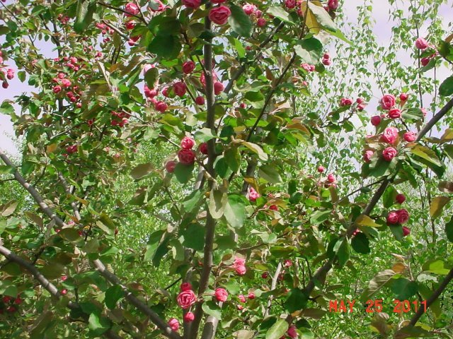 """Brandywine - The Brandywine Crab blooms in the spring and sets off a wonderful fragrance. Height 15-20' Spread 15-20' Shape round Flower Double, deep pink Fruit Yellow-green, 1"""" Zone 4-7"""
