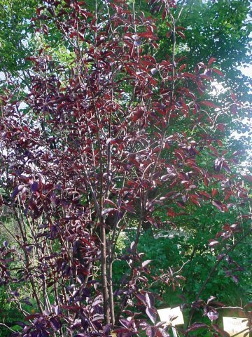 Canada Red Cherry - Wildlife loves the Red fruit the Canada Red Cherry produces in mid-summer. Height 20-25' Spread 18-20' Maroon leaves. Zone 2-7