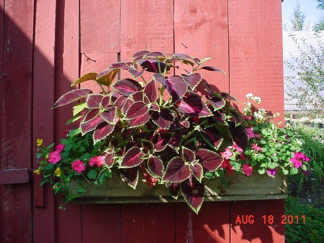 Coleus and Impatiens