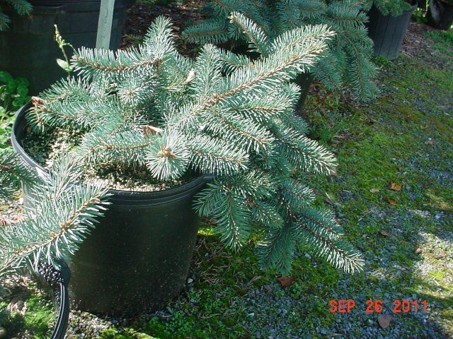 Colorado Blue Spruce Procumbens