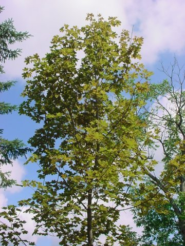 Deborah Maple - The Deborah Maple has bright red foliage in the spring that turn dark green throughout the summer. It grows 40-60' tall as well as wide. Zone 4-7