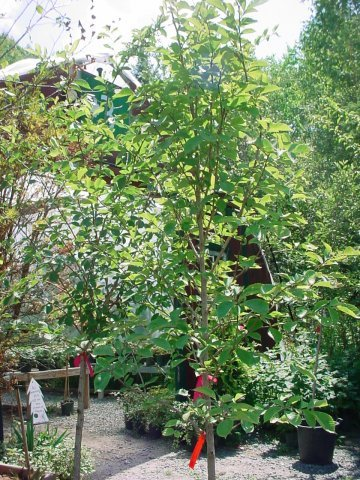 Discovery Elm - Green foliage in the summer changing to yellow in the fall. Height 35-40' Spread 35-40' Zone 3-7