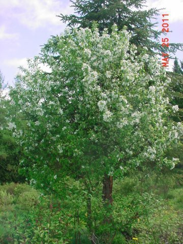 """Dolgo - The Dolgo Crab blooms early in the season. Its fruit ripens in late summer. Height 35-40' Spread 25-30' Shape Wide-spreading Flower Single, white Fruit Crimson, 1.5"""" Zone 2-7"""