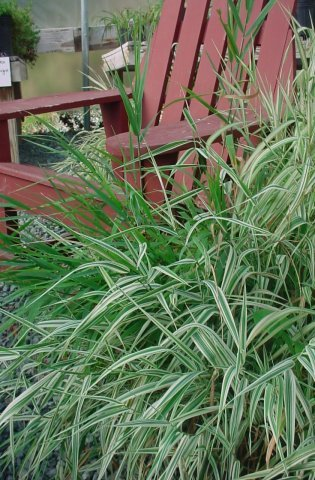Feesey-Ribbon Grass