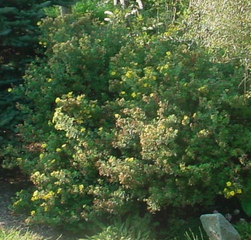 Gold Drop Potentilla - Yellow flowers bloom all summer. Height 2' Spread 2-3' Zone 2-7