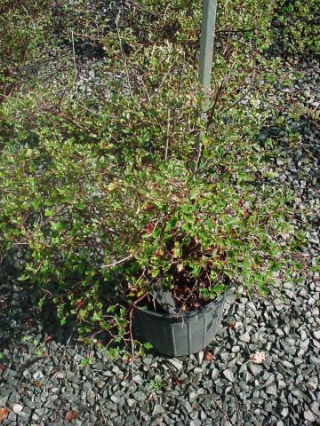 Green Mound Alpine Currant - Green leaves leaf out in early spring and last all summer with green fall foliage. Height 3-4' Spread 2-3' Zone 2-7