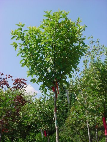 Lollipop - Single, white flower with gold fruit. Height 10' Spread 10' shape round zone 4-7