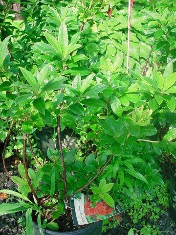 Mandarin Lights Azalea - This Azalea blooms in the spring with unforgettable, bright orange flowers. Height 4-5' Spread 4-5' Zone 4-7