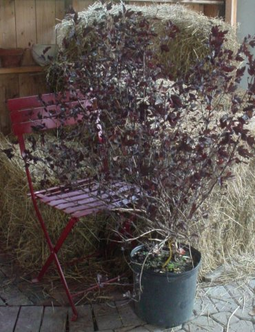 Ninebark-Summer Wine - Requires little pruning. Pinkish-white flowers bloom in mid-summer. Height 5-6' Spread 5-6' Zone 3-7
