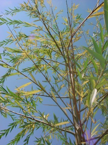 Noble Weeping Willow - This weeping willow like to be planted in wet areas. Height 50' Spread 50' Bright green foliage in summer, yellow in fall. Zone 4-8